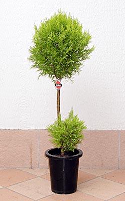ゴールドクレスト (植物)の画像 p1_4
