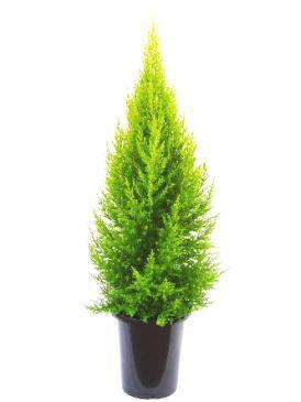 ゴールドクレスト (植物)の画像 p1_3